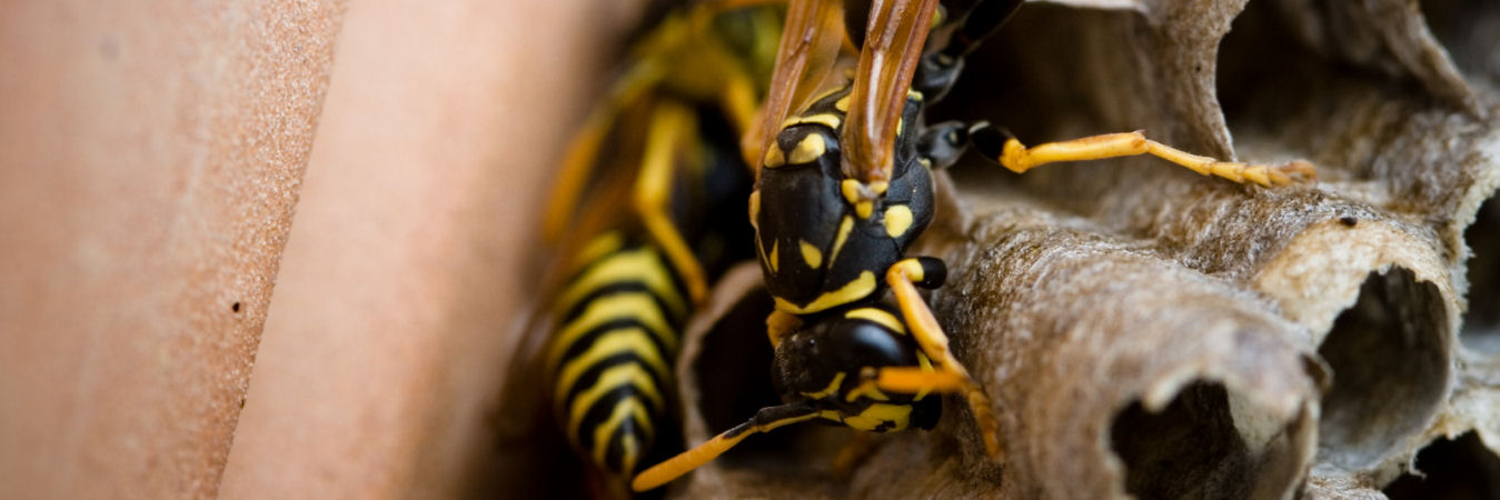 Wasp/Hornet Nest Removal For £45!